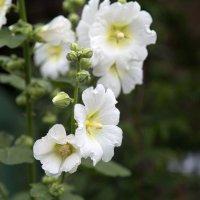 Мальва ( дикая роза ) :: Марина Щуцких