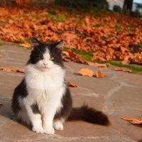 Осенняя кошка :: Максим Миронов