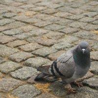 Породистый голубь :: Максим Миронов