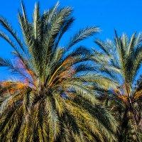 пальма :: Александр Альтшулер