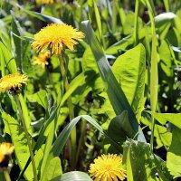 Одуванчики - весенние цветочки :: Светлана SvetNika17