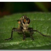 Вот такая муха :: GaL-Lina .