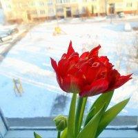 Махровый тюльпан в январе . :: Зоя )