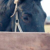 Лошадь :: Анатолий Липатов