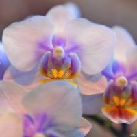 Орхидеевое облако :: Татьяна Маркова (tvm00/Татьяна)