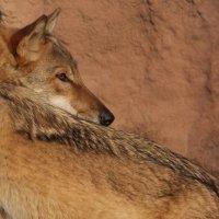 волк :: Илья