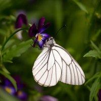 Бабочка :: Сергей Щербаков