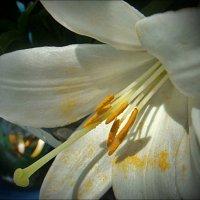 Белая лилия в нашем дворе :: Нина Корешкова