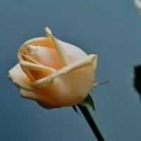 Роза :: Владимир KVN