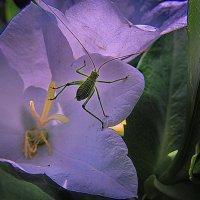 В цветке сидел кузнечик . :: Александр Макурин