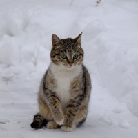 Киса с зелёными глазами :: Сергей Ткаченко