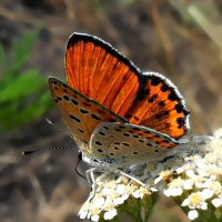 Бабочка-червонец! :: Наталья