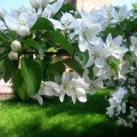 Веточка яблони в цвету :: Елена Семигина