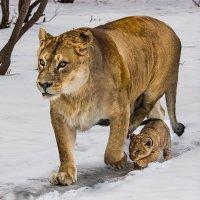 Львы :: Nn semonov_nn