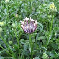 Osteospermum / Остеоспермум :: laana laadas