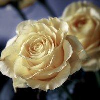 Зимняя роза :: Александр Гапоненко