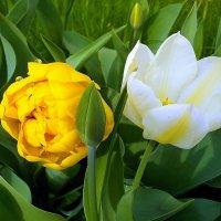 Тюльпаны после дождя. :: VasiLina *