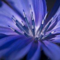 Цветок цикория :: Ирина Лядова