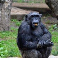 шимпанзе :: Savayr