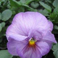 Viola Lavender Surprise :: laana laadas