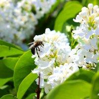 Пчела на сирени :: TATYANA PODYMA
