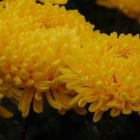 Хризантемы :: Валентина Малинина