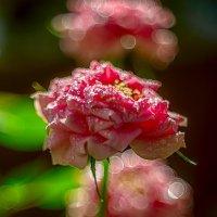 Роза :: Сергей Брагин