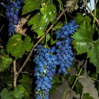 Спелые грозди. :: Yoris2012 Lp.,by >hbq/