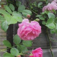 Розы на фоне. :: Михаил Попов