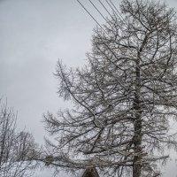 Дом под лиственницей :: Елена Артамонова