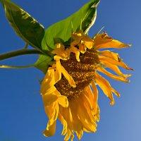 солнечный цветок :: Лидия Симова