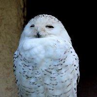 Полярная сова :: Nikolay Monahov