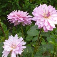 цветы моего сада :: шубнякова
