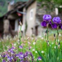 Ирисы в горной долине :: Alllen Polunina