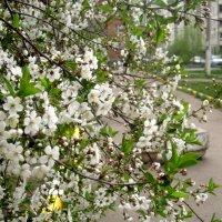 Цветение вишни весной :: Елена Семигина