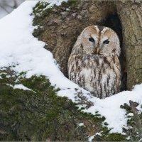 Сидит сова - аукает, мохнатый лес баюкает... :: Анна Солисия Голубева