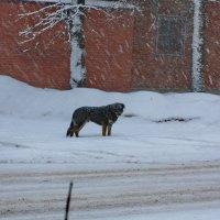 Бездомный, одинокий пес... :: Надежда Баликова