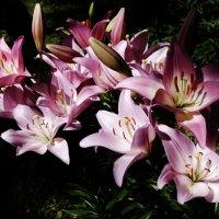 Лилии в саду :: Светлана Лысенко