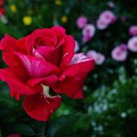 """Роза """"Фердинанд Пичард"""" :: mila"""