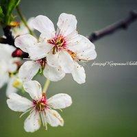 Май.....цветущая вишня.. :: Любовь Кастрыкина