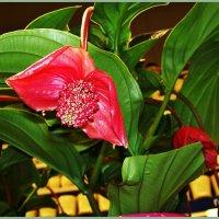 Цветок Мединиллы. :: Валерия Комова