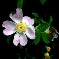 И цвет шиповника, как девичья краса... :: Ольга Голубева