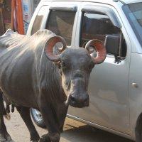 Пуна. корова так же часто встречается как и автомобиль. :: maikl falkon
