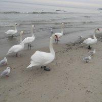 Лебеди и чайки Балтика Зима :: Олег Романенко