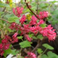 "Ribes sanguineum "" King Edward VII ""  / Смородина кроваво-красная :: laana laadas"
