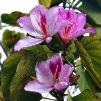 Баухиния-орхидейное дерево :: Валерьян