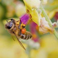 Пчелиный рай :: Сергей Изюмченко