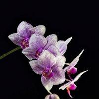 Орхидея :: Светлана Л.