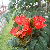 Цветы тюльпанового дерева. :: Сергей Щербаков