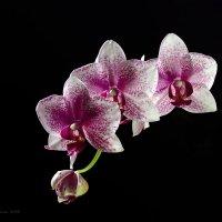 Орхидея  с каплями :: Светлана Л.